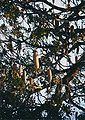 Kigelia africana fruits.jpg