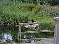 Killarney Crow on the lake.jpg