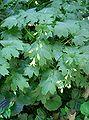 Kirengeshoma palmata1.jpg