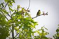 Kirtland's Warbler (Setophaga kirtlandii) (19411995422).jpg