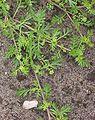 Kleine varkenskers stukje plant Coronopus didymus.jpg