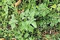 Kluse - Solanum nigrum - Schwarzer Nachtschatten 10 ies.jpg
