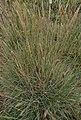 Koeleria-macrantha-habitus.jpg