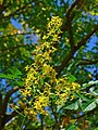 Koelreuteria paniculata 003.JPG