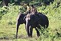Koomkie Elephant of Forest Department of India.jpg