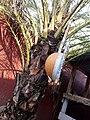 Kora, instrument de musique en pays Mandingue( (appelé Griots) et utilisé aussi par les chasseurs traditionnel appelés Dozo (vue de profil).jpg