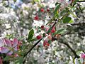 Kornik Arboretum jablon kwiecista 2.jpg