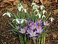 Krokus (Crocus) en Galanthus nivalis (sneeuwklok.JPG