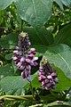 Kudzu (Pueraria lobata) (7999889530).jpg