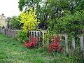 Kvetoucí keře ve Střelicích.jpg