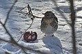Kwiczoł (Turdus pilaris) 2.jpg