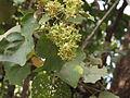 Kydia calycina - Ganeshgudi 02.JPG