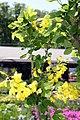 Laburnum anagyroides Columnaris 0zz.jpg