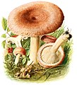 Lactarius-torminosus-gramberg-1913-pilzederheimatei00gram 0051.jpg