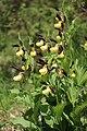 Lady's-Slipper Orchid - Cypripedium calceolus - panoramio (38).jpg