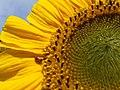 Ladybird on a sunflower - geograph.org.uk - 938092.jpg