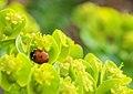 Ladybug on succulent flowers (8670525261).jpg