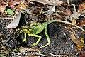 Laemanctus longipes (El Mirador).jpg
