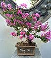 Lagerstroemia indica bonsai, JBM.jpg