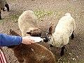 Lamb feeding - geograph.org.uk - 206290.jpg