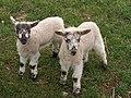 Lambs, Tregatherall - geograph.org.uk - 738207.jpg