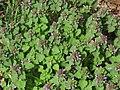 Lamium purpureum 2 RF.jpg
