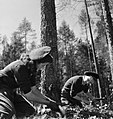 Land Girls using a double saw to cut down a tree as part of their training at the Women's Land Army camp in Culford, Suffolk in 1943. D14099.jpg