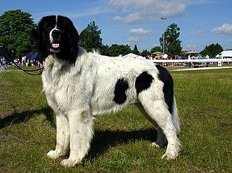 Landseer dog - Landseer