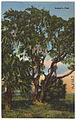 Lanier's oak (8368109684).jpg