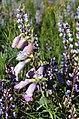 Large-flowered Penstemon and Wild Lupine (27442988972).jpg