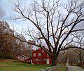 Large Tree spans road at Waldo House.JPG