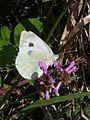 Large White Butterfly - geograph.org.uk - 218484.jpg