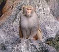 Large monkey on a rock Vietnam.jpg