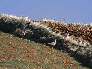 Great bustard - Great bustards in Spain in fairly typical habitat for the species.