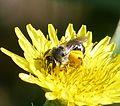 Lasioglossum female - Flickr - gailhampshire (1).jpg