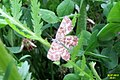 Latticed heath (NH) (7990949966).jpg