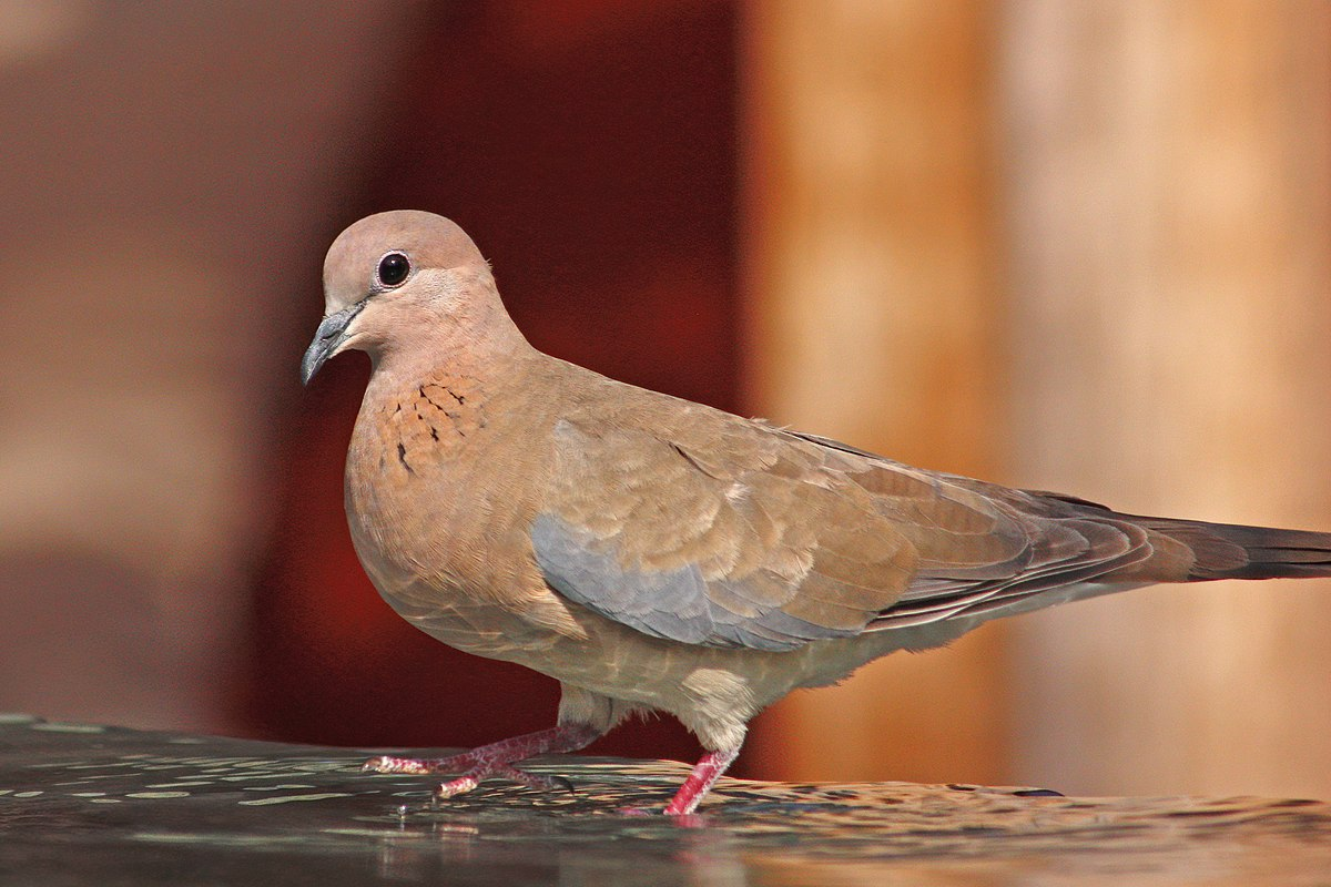Laughing Dove Wikipedia