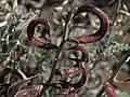 Layne milkvetch, Astragalus layneae (45274860715).jpg