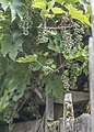 Lazy Grape Arbor (221031537).jpeg