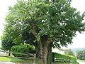 Le chêne des saints.jpg