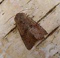 Lead coloured Drab. Orthosia populeti. Male. (6883686172).jpg