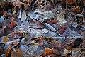 Leaf, Blätter lenneberger wald (1).JPG