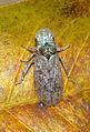 Leafhopper Ledra sp. (21715224963).jpg
