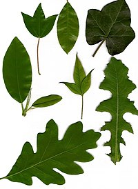 Leaves showing various morphologies. Clockwise from upper left: tripartite lobation, elliptic with serrulate margin, peltate with palmate venation, acuminate odd-pinnate (center), pinnatisect,  lobed, elliptic with entire margin