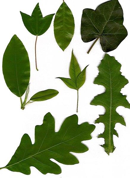 Рисунки листьев деревьев, бесплатные ...: pictures11.ru/risunki-listev-derevev.html