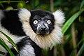 Lemur (25082234027).jpg