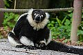 Lemur (36499701973).jpg