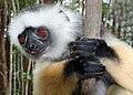 Lemur in Andasibe 2.jpg