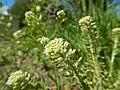 Lepidium campestre - field pepperweed - Flickr - Matt Lavin (3).jpg