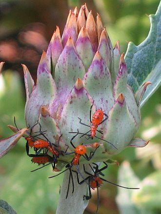 Leptoglossus phyllopus - Nymphs on cardoon (Cynara cardunculus